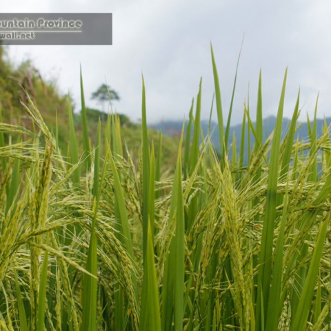 Rice: Sagada's primary crop