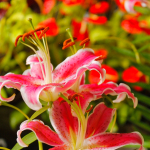 Hidden Garden's Pink Lily