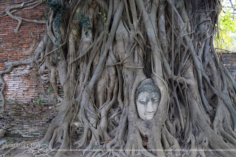 A buddha head entangled in the roots of the Bodhi tree