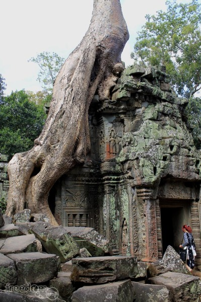 Roots growing on ta prohm