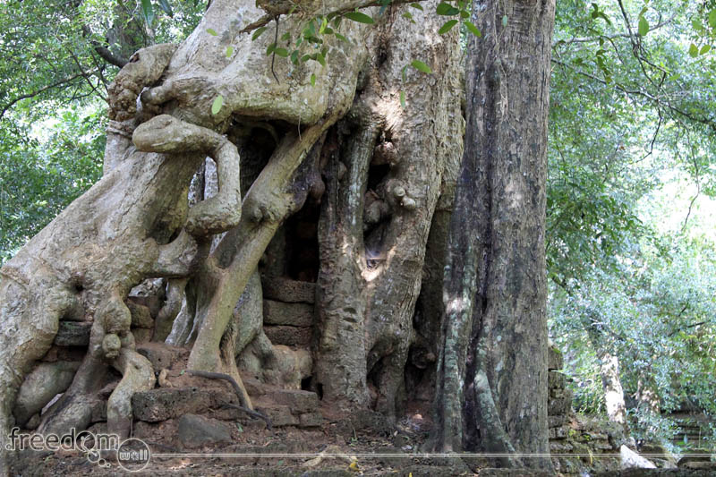 A tree that grows on northwest corner of Baphuon temple. It seems that it devoured a structure