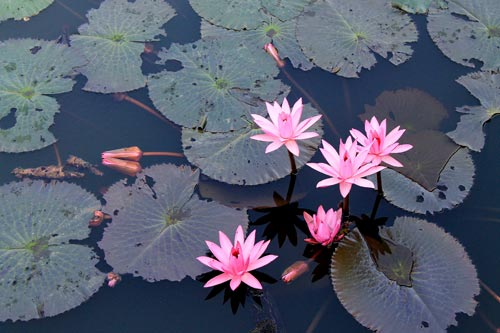 lotus bloom in fort santiago
