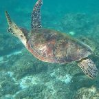 Turtles regularly swim around the waters of Panagsama Beach in Moalboal