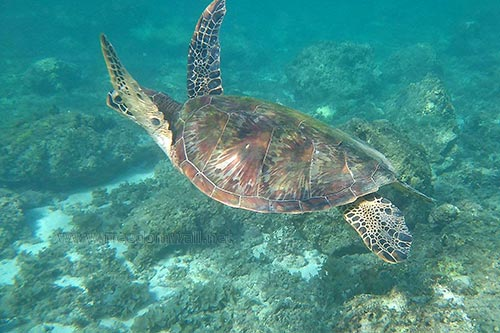 Turtles regularly swim around the water of Panagsama Beach in Moalboal