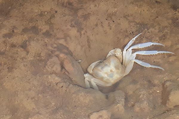 Albino crab