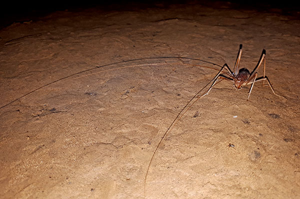 Sneaky cave crickets