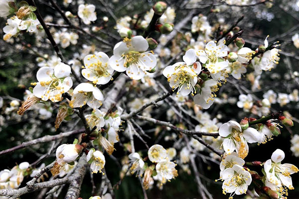 White Plum Blossoms at Sun Moon Lake