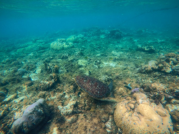Swim with the turtles in Apo Island