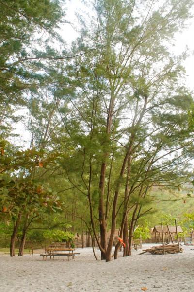 Anawangin Pine Tree